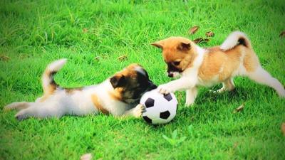 Cún con đá bóng